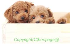 トイプードルの子犬の飼い方の画像